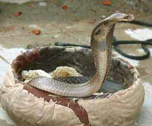 Snake Milker working on King Cobra Photo