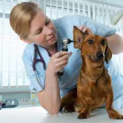 Veterinarian Does a Standard Physical on a Dog